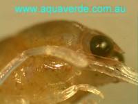 Redclaw - Stage II - compound eye