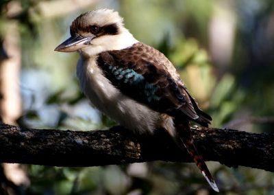 mischievous kookaburra